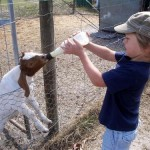 Feeding the baby goat